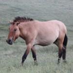 takhi-wild-horse